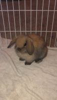 Holland Lop Rabbits for sale in Colerain Township, OH, USA. price: NA