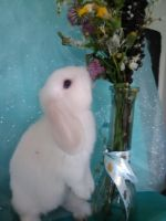 Holland Lop Rabbits for sale in Coleman, MI 48618, USA. price: NA