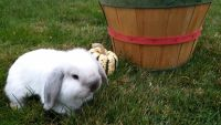 Holland Lop Rabbits for sale in Franklin, NH, USA. price: NA