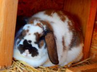 Holland Lop Rabbits for sale in Orem, UT, USA. price: NA