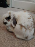 Holland Lop Rabbits for sale in Colorado Springs, CO, USA. price: NA