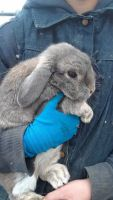 Holland Lop Rabbits for sale in Williamsburg, OH, USA. price: NA