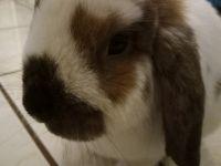 Holland Lop Rabbits for sale in 306 E Ocean Ave, Boynton Beach, FL 33435, USA. price: NA