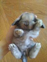 Holland Lop Rabbits for sale in Diamond Springs, CA, USA. price: NA
