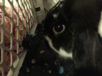 Holland Lop Rabbits for sale in Geneva, AL 36340, USA. price: NA