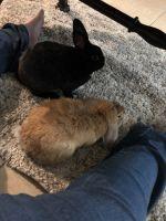 Holland Lop Rabbits for sale in DeLand, FL, USA. price: NA