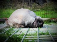Holland Lop Rabbits for sale in Salem, OR, USA. price: NA