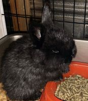 Holland Lop Rabbits for sale in Russellville, AL, USA. price: NA
