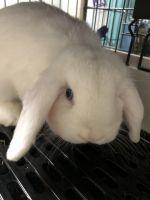 Holland Lop Rabbits for sale in Lenexa, KS, USA. price: NA