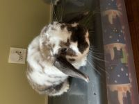 Holland Lop Rabbits for sale in Woodinville, WA, USA. price: NA