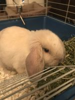 Holland Lop Rabbits for sale in Brick Township, NJ, USA. price: NA