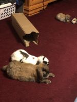 Holland Lop Rabbits for sale in 5509 Frenchmans Creek Dr, Durham, NC 27713, USA. price: NA