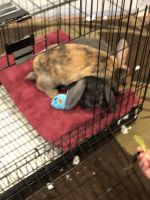 Holland Lop Rabbits for sale in Evansville, IL 62242, USA. price: NA