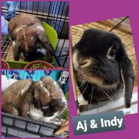 Holland Lop Rabbits for sale in Middleport, NY 14105, USA. price: NA