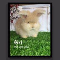 Holland Lop Rabbits for sale in Murrieta, CA, USA. price: NA