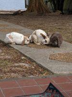 Holland Lop Rabbits for sale in Slidell, LA, USA. price: NA