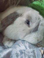 Holland Lop Rabbits for sale in Staten Island, NY 10314, USA. price: NA