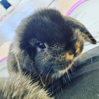 Holland Lop Rabbits for sale in Buffalo, NY, USA. price: NA