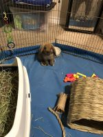 Holland Lop Rabbits for sale in Houston, TX 77042, USA. price: NA