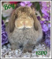 Holland Lop Rabbits for sale in Artesia, CA, USA. price: NA