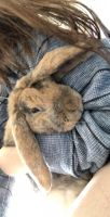 Holland Lop Rabbits for sale in Las Vegas, NV, USA. price: NA