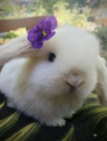 Holland Lop Rabbits for sale in Hermitage, Nashville, TN, USA. price: NA