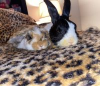 Holland Lop Rabbits for sale in Macungie, PA 18062, USA. price: NA