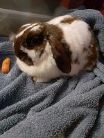 Holland Lop Rabbits for sale in Darrington, WA 98241, USA. price: NA