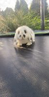 Holland Lop Rabbits for sale in Louisville, KY, USA. price: NA