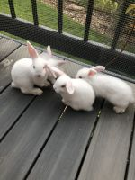 Holland Lop Rabbits for sale in Highlands Ranch, CO, USA. price: NA