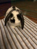 Holland Lop Rabbits for sale in Dallas, TX, USA. price: NA