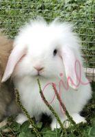 Holland Lop Rabbits for sale in St Cloud, MN, USA. price: NA