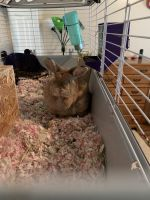 Holland Lop Rabbits for sale in Waynesville, NC 28785, USA. price: NA