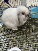 Holland Lop Rabbits for sale in Tampa, FL, USA. price: NA