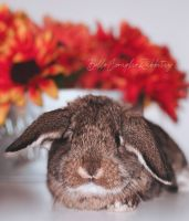 Holland Lop Rabbits for sale in Yonkers, NY, USA. price: NA