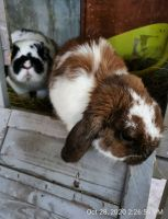 Holland Lop Rabbits for sale in Liberty Hill, TX 78642, USA. price: NA