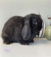 Holland Lop Rabbits for sale in San Diego, CA, USA. price: NA