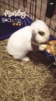 Holland Lop Rabbits Photos