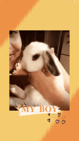 Holland Lop Rabbits for sale in Salt Lake City, UT, USA. price: NA