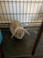 Holland Lop Rabbits for sale in Atlanta, GA, USA. price: NA