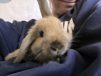 Holland Lop Rabbits for sale in Cherry Hill, NJ, USA. price: NA