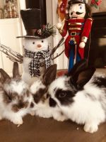 Holland Lop Rabbits for sale in New Bedford, MA 02745, USA. price: NA