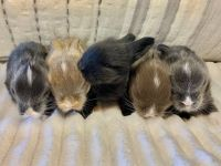 Holland Lop Rabbits for sale in Prince George, VA, USA. price: NA
