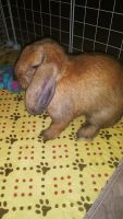 Holland Lop Rabbits for sale in Jacksonville, FL, USA. price: NA