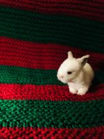 Holland Lop Rabbits for sale in Prescott Valley, AZ, USA. price: NA