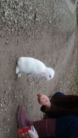 Holland Lop Rabbits for sale in St Louisville, OH 43071, USA. price: NA