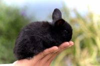 Holland Lop Rabbits for sale in Phoenix, AZ, USA. price: NA