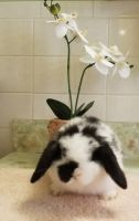 Holland Lop Rabbits for sale in Virginia Beach, VA, USA. price: NA
