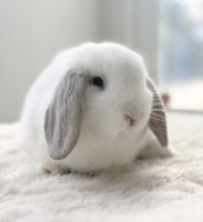 Holland Lop Rabbits for sale in Irvine, CA, USA. price: NA
