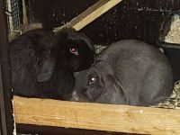 Holland Lop Rabbits for sale in Redmond, WA, USA. price: NA